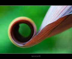 Bananen bloem, schutblad (Borretje76) Tags: banaan bananen banana schutblad bananenbloem jasje macro groen bruin green brown leaf curled opgerold rolletje dof bokeh borretje76 dutch enschede netherlands sigma 180mm a580 sony dslra580 f16 iso400 gupr