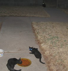 Three young black cats, getting a bite to eat (Hairlover) Tags: pet cats pets public cat kitten kitty kittens kitties straycats allcatsnopeople