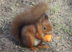 Red Squirrel (visionthing64) Tags: park red animal squirrel lancashire eat bolton carrot mossbank