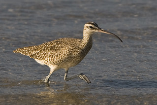 Whimbrel (Numenius phaeopus)  whimbrel-bird-mo...