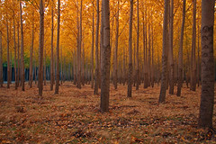 Golden Glow (walla2chick) Tags: trees gold golden grove or poplars umatilla