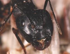 [フリー画像] [節足動物] [昆虫] [蟻/アリ]        [フリー素材]