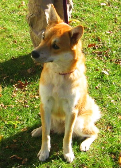 Scarlett, a 25-pound rescue Jindo in Toledo, Ohio who needs a good home