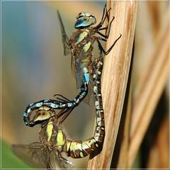 Connected (vanstaffs) Tags: dragonfly explore macrography odonata anisoptera aeshnamixta supershot interestingness263 i500 impressedbeauty