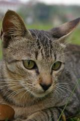 (wormy lau) Tags: animal cat felidae
