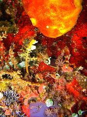 Pygmy Seahorse, Hippocampus Pontohi