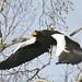 知床:Steller's Sea Eagle
