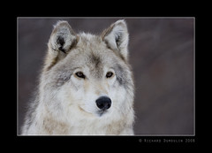 Gray wolf / loup gris (RichardDumoulin) Tags: canada montral qubec richard graywolf ecomuseum dumoulin loupgris vosplusbellesphotos