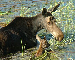Young Mother (BigSkyKatie) Tags: nature rockies montana moose missoula babymoose potofgold bigskycountry naturesfinest missoulamontana moosecalf cowmoose calfmoose specanimal anawesomeshot impressedbeauty incrediblenature mothermoose bluemountainroad katielasallelowery cowandcalfmoose