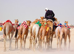 "Camel Race (Rafeek Manchayil ""Near Perfect"") Tags: camellos chameaux"