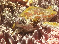Green Turtle (dachalan) Tags: asia southeastasia underwater turtle wildlife philippines scuba diving dumaguete visayas negros thechapel greenturtle apoisland dauin nikoncoolpixp1 dachalan photofaceoffwinner zamboanguita pfogold