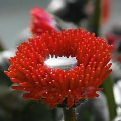 Kelch II (O.I.S.) Tags: macro rot wasser blume makro blüte tropfen fz50 simplyflowers saveearth