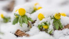 Winterakoniet - Winter Aconite (Wim Boon (wimzilver)) Tags: winterakoniet natuur winteraconite canonef100mmf28lmacroisusm canoneos5dmarkiii canonspeedlite580exii sneeuw snow winter