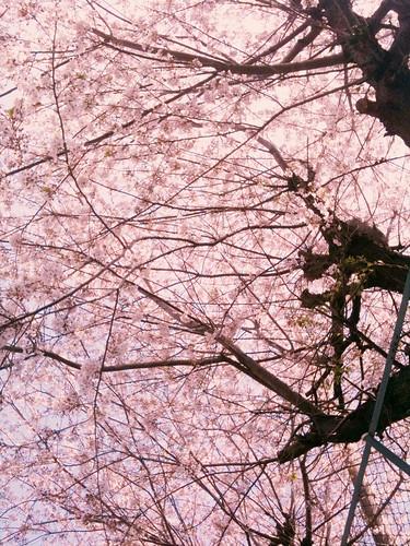 もう終ったかと思ったら、未だ満開の桜が。