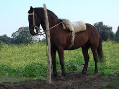 Criollo horse (frisbeeace) Tags: flowers horse argentina yellow criollo caballo saddle gaucho montura recado pfosilver