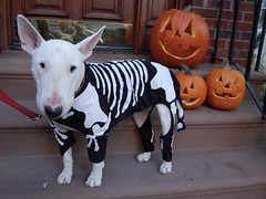 jack and the o'lanterns (sbethell) Tags: dog halloween skeleton jack bullterrier englishbullterrier jackdog halloween2008