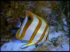 Yellow (DeFerrol) Tags: fish pez aquarium animalplanet acuario