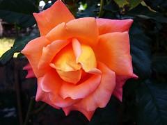 For Beatrice (Claudio.Ar) Tags: santafe flower primavera argentina beauty rose wow garden spring friend friendship