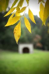 Golden Leaves (CV Canon shooter) Tags: canon1740l redwoodpark redwoodregionalpark 40d canon40d