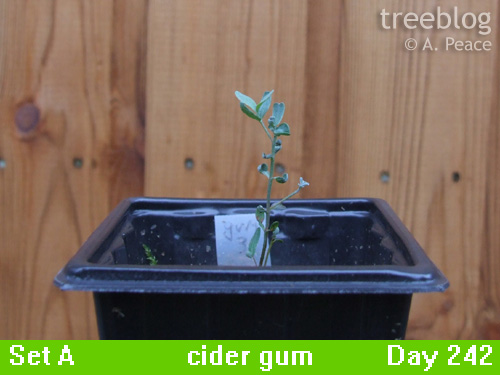 cider gum No. 3 (Day 242)