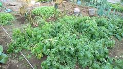 今週の市民農園:ジャガイモと里芋と水菜