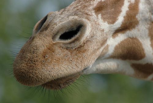 Giraffesn