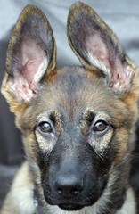 Me & My Ears (cwgoodroe) Tags: winter dog color cute tongue closeup puppy eyes fuzzy shepherd watching guard young ears canine running run german stick chew gnaw germanshepherd attention ran trot hunt guarding k9 policedog observant gsd cutepuppy alet sephard germanshepherdeyes