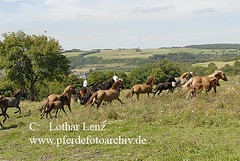 _LL02922 (Lothar Lenz) Tags: horse caballo cheval cavalo pferd hest equus paard hst fohlen hestur stute herde islnder konj hobu zirgs islandpferd sagareitschulen fotolotharlenz