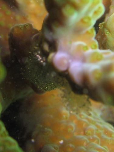 Fish eggs on an Acopora coral (closeup)
