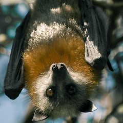 The Grey-headed Flying-fox (Rain Forest Man) Tags: life family friends portrait friedhof cemeteries love cemetery last rural person interes