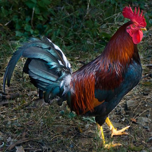 Rooster by Mr Noded, on Flickr