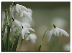 Snowdrops at Hodsock (maire52) Tags: day seasons mothers snowdrops priory hodsock