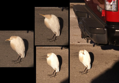 Cattle Egret at MegaCon