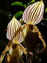 Stripes (Trish Mayo) Tags: newyork orchids bronx stripes orkide bronxbotanicalgardens thenewyorkbotanicalgardens thebestofday gnneniyisi