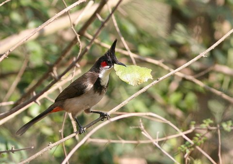red-whiskered bulbul with leaf