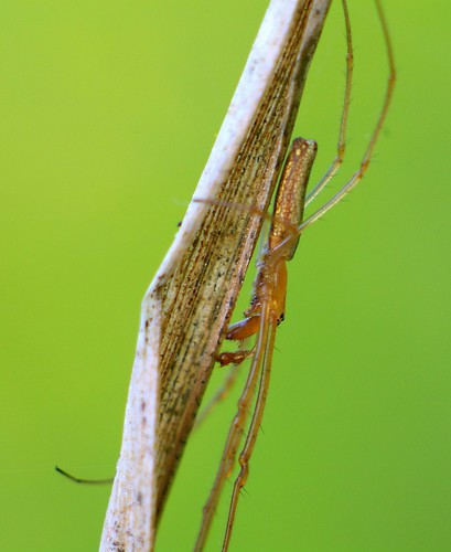Long-jawed Orb Weaver Spider (genus Tetragnatha, species?)