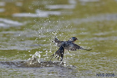 (N-S-S) Tags: bird birds nikon sigma 300mm 28 kuwait nikkor  vr nasser  nss     vwc          kvwc   alsolihem