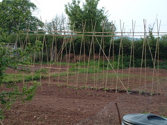080511-allotment334