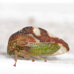 Cute Hopper (zxgirl) Tags: macro night bug insect flash insects bugs mybackyard hopper treehopper s5 hoppers hemipteran dcr250 raynox hemiptera auchenorrhyncha hemipterans membracidae treehoppers cicadoidea excapturemacro img3715c