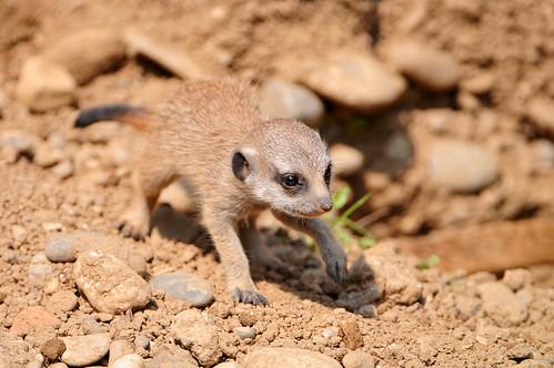 フリー画像| 動物写真| 哺乳類| 小動物| ミーアキャット|       フリー素材|