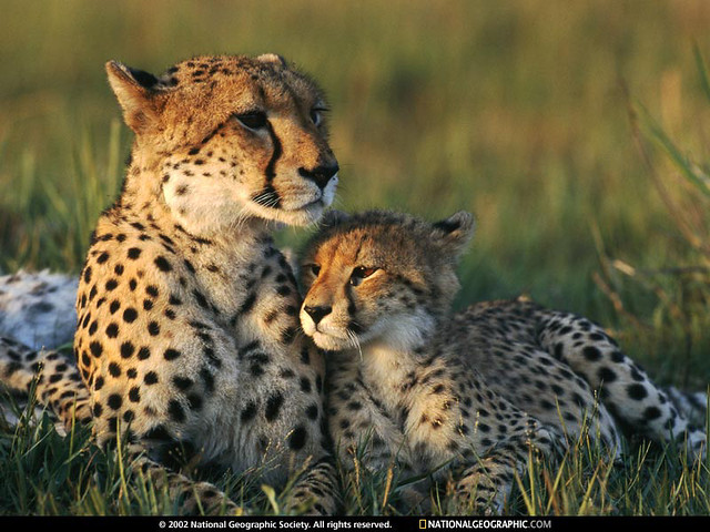 cheetah-mom-and-cub-642816-sw