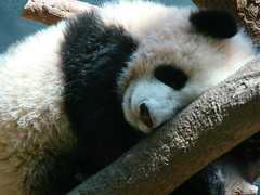 How much to kiss dat mouffie? (LCNessie) Tags: atlanta giant zoo cub lan po lun pandas xi