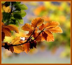 11okt2007 colours of autumn...... (guus timpers) Tags: autumn colours herfst beech herfstkleuren beuk naturesfinest supershot gtaggroup mywinners mywinner excellentphotographerawards theperfectphotographer qemdfinchadminsfavforoct