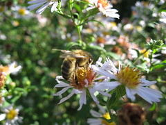 Giverny Bee