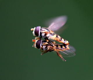 Hoverflies Mating in the Air