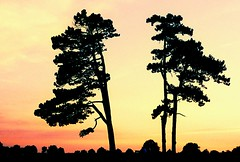 We Three... (Trapac) Tags: uk pink trees sunset summer england film silhouette pine downs bristol xpro crossprocessed fuji peach slidefilm threesisters nikkor50mmf18 ra sevensisters sensia nikonf80 thedowns 100iso fujisensia wmh durdhamdown bristoldowns explored fujira