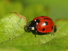 Ladybird on strawberry leaf