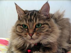felix (Carabul) Tags: cat canon kat chat felix powershot gato katze gatto kedi katt кошка γάτα котка pisică قطة