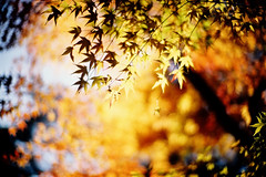 in the gentle autumn sunlight (moaan) Tags: life leica autumn light 50mm golden dof shine bokeh f10 momiji japanesemaple kobe rokko noctilux transparent brilliant tinted leicam7 2007 autumnalleaves m7 rvp fujivelvia tinged fujirvp inlife leicanoctilux50mmf10 bokehwhores gettyimagesjapanq1 gettyimagesjapanq2