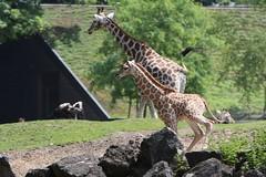 IMG_4696_emmen (Arie van Tilborg) Tags: zoo dieren emmen noorderdierenpark dierentuin mediacollege arievantilborg